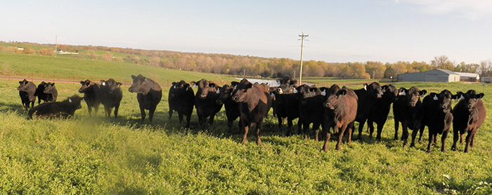 Group of F1 and F2 McBeef Builder Hybrid Heifers